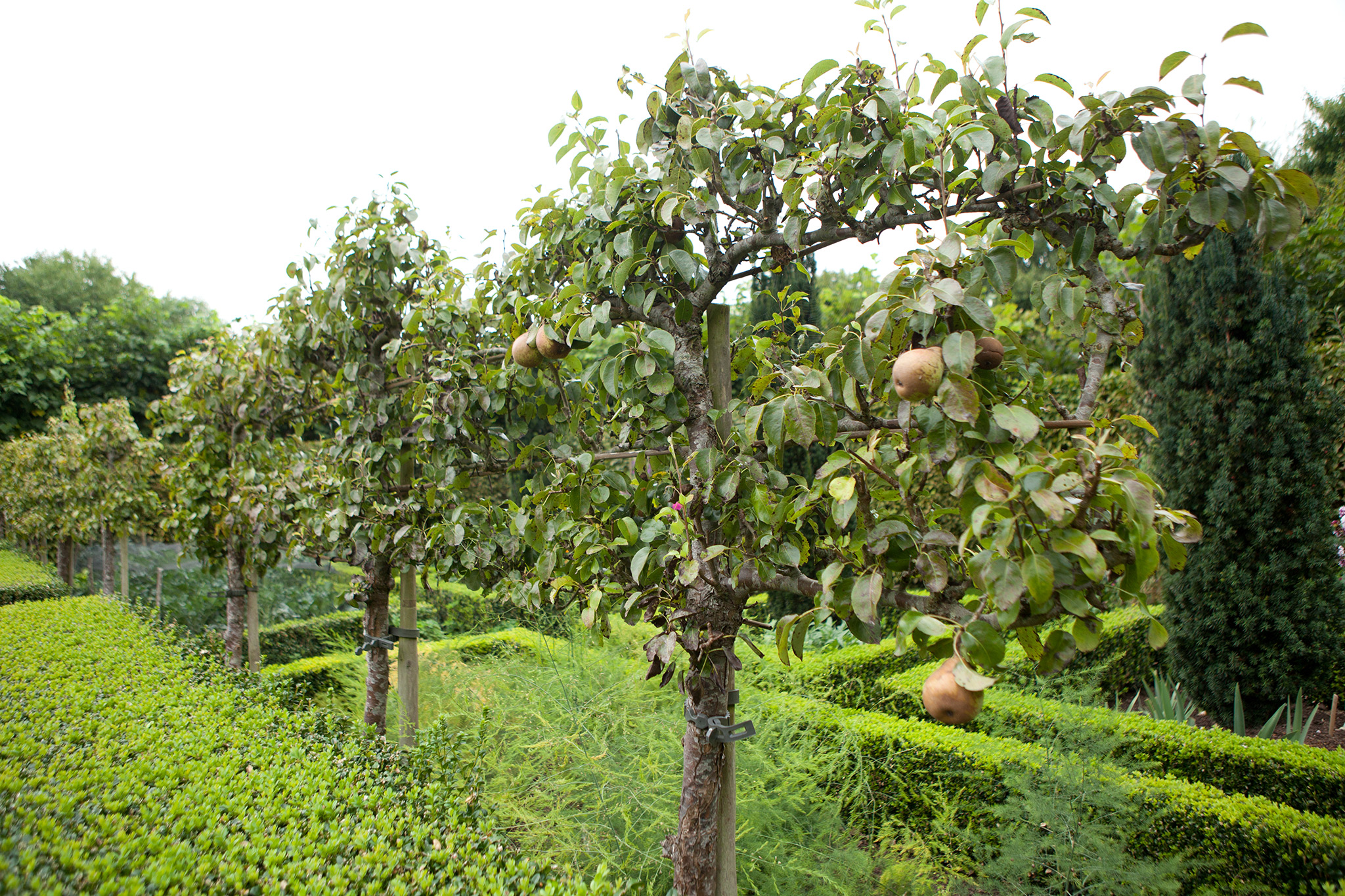 Apple trees during summer
